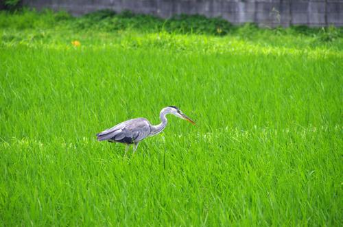 梅雨時の鳥たち2011-15