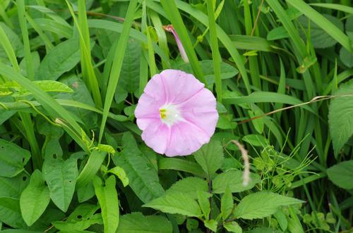 河川敷の花201207-2