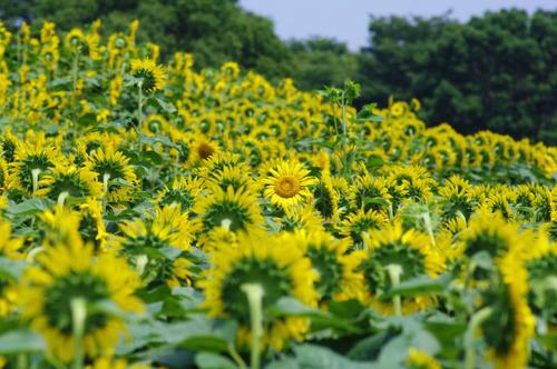昭和記念公園201308-11