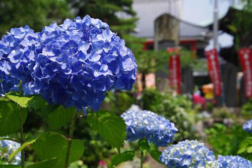 高幡不動尊あじさいの様子20100612-7