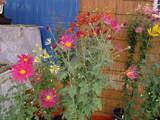 菊まつり変り花-7