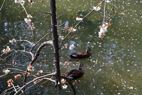 百草園梅まつり201003-5