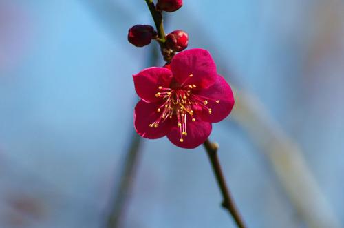 百草園梅まつり201102-4
