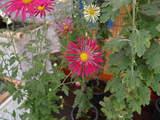 菊まつり変り花-13