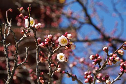 高幡不動尊梅201002-6