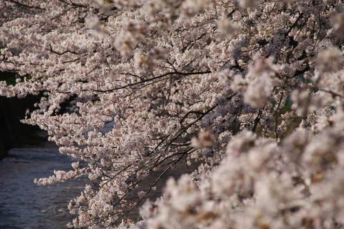 多摩川河川敷桜2010-4