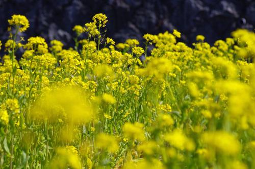 菜の花201103-4
