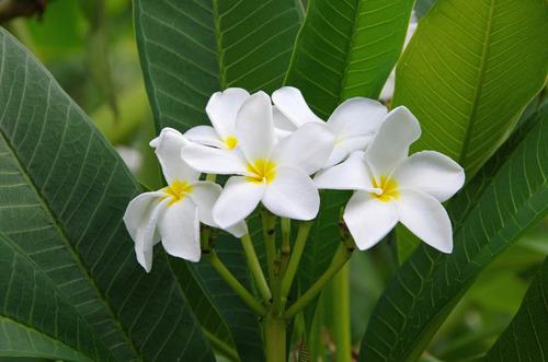 由布島の花201108-11