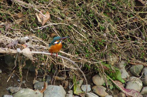 散歩道の野鳥201301-5
