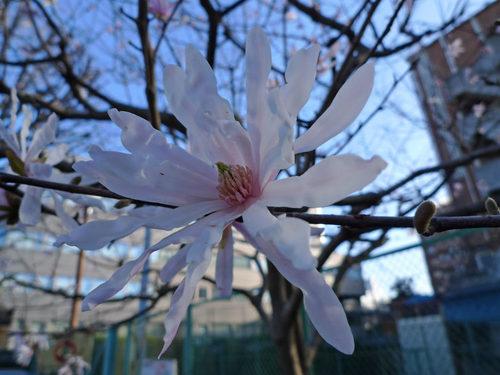 散歩道の春201003-12四手辛夷(しでこぶし)