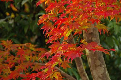 昭和記念公園紅葉201211-4