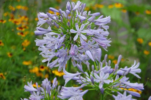 夏の花201107-1