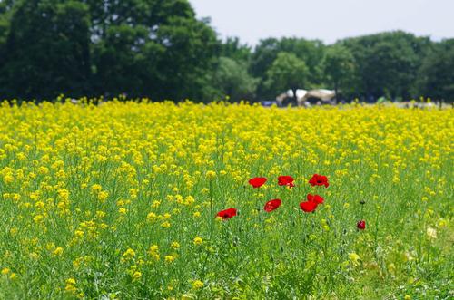 昭和記念公園201205-7