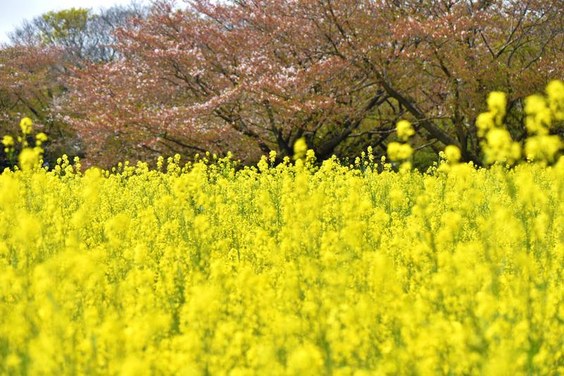 昭和記念公園 菜の花畑