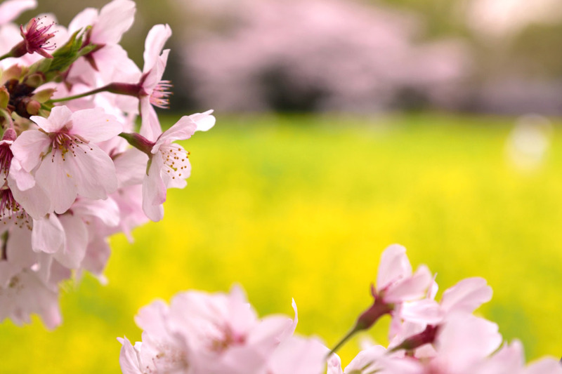 昭和記念公園 桜と菜の花