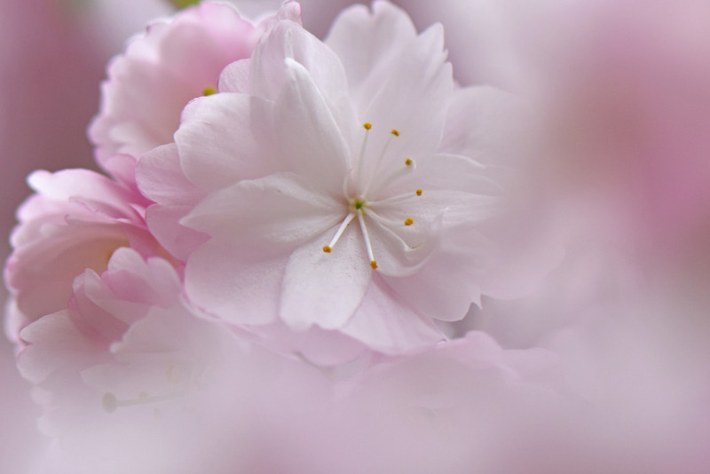 高幡不動尊枝垂れ桜