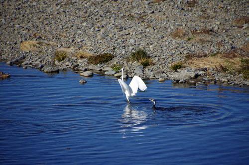 散歩道の野鳥201301-11