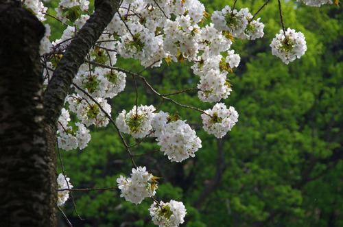 新宿御苑201104-3