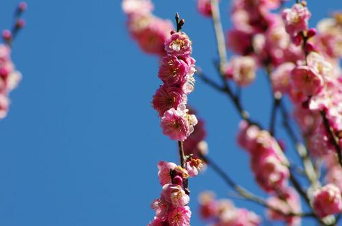 百草園梅まつり201102-6