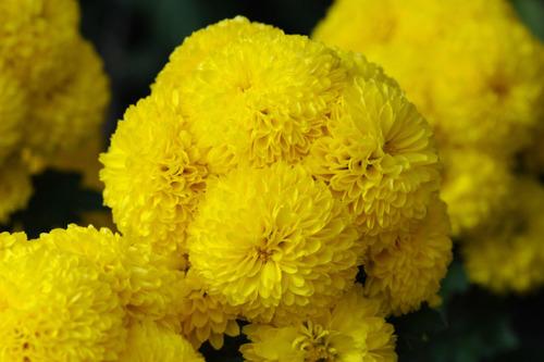 菊まつり2010-1