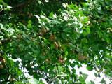 秋空とイチョウ-13