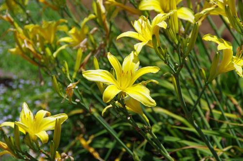 夏の花201107-10