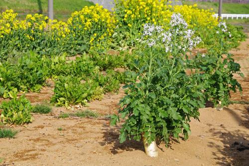 畑の花201004-5