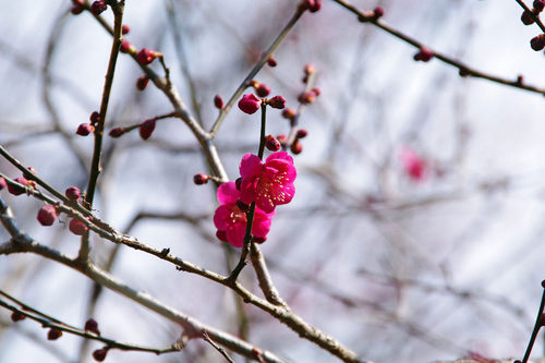 百草園の梅2010-9