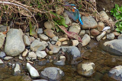 散歩道の野鳥201301-4
