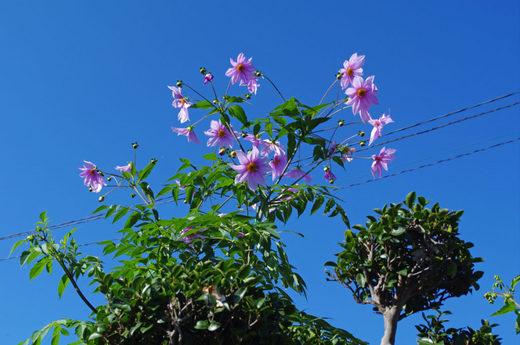散歩道の花200912-ダリア1