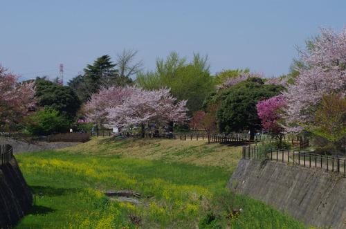 昭和記念公園菜の花と桜201104-1
