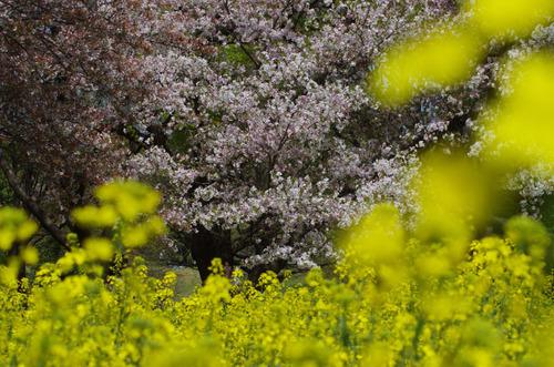 昭和記念公園菜の花と桜201104-8
