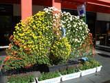 菊まつり飾り-8