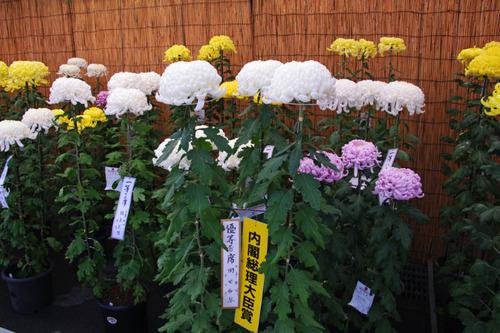 菊まつり2010-11