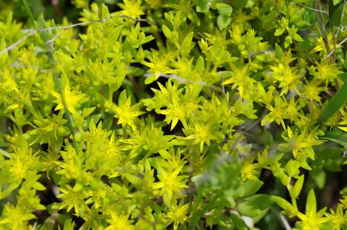 散歩道の花(5月)2012-7