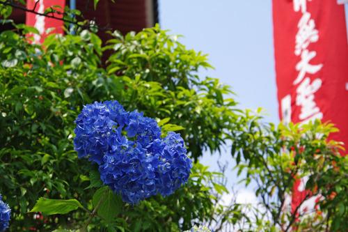 高幡不動尊あじさい2010-8