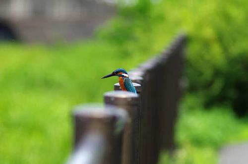 散歩道の鳥たち2013-10