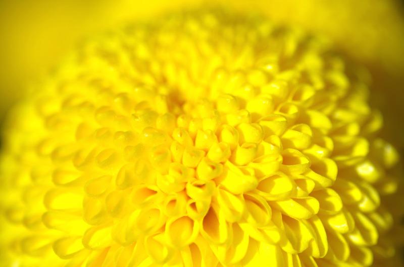ポンポン菊