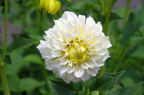 夏の花201107-7