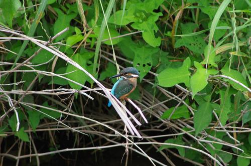 梅雨時の鳥たち2011-11