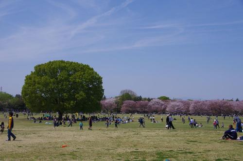 昭和記念公園菜の花と桜201104-2
