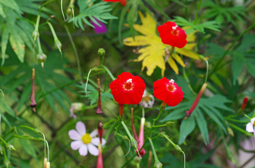 散歩道の花201210-9ハゴロモルコウソウ