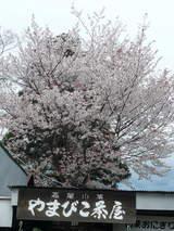 高尾山0420山頂の桜