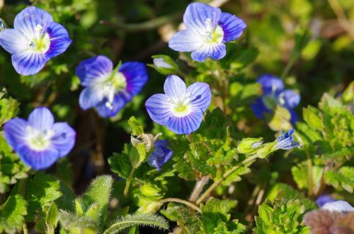 春の花201103-6