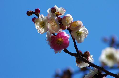 京王百草園201103-12