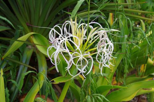 由布島の花201108-12