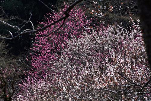 百草園梅まつり201003-8