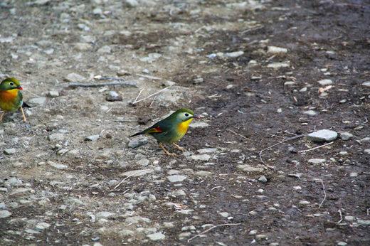 きれいな鳥1