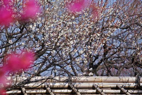 百草園の梅2010-10