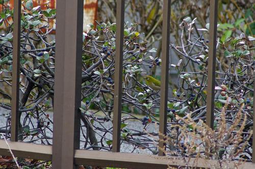 散歩道の野鳥201301-6
